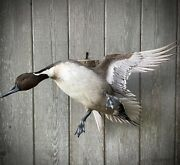 Mounted Captive Bred Drake Pintail Duck Taxidermy
