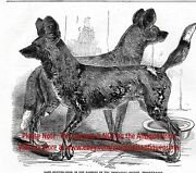 African Wild Dog Cape Hunting Painted Dog Large 1860s Antique Print And Article
