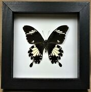 Real Framed Papilio Nephelus Black And White Helen Swallowtail Butterfly W-258