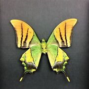 Real Framed Teinopalpus Imperialis Verso Emperor Of India Butterfly B-254