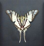 Real Framed Eurytides Protesilaus Victorian Mount Butterfly B-256