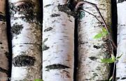 Ambrosial Birch Essential Oil Betula Lenta Natural From India Free Shipping