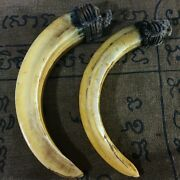 Thai Amulet Magic Animal Tooth Real Fang 2 Wild Pig Boar Teeth Powerful Antique