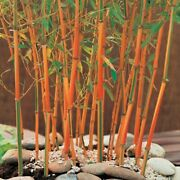 50 Red Fountain Bamboo Seeds Privacy Climbing Garden Seed Shade 399 Us Seller