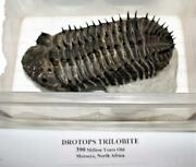 Drotops Spiny Trilobite Fossil Morocco 390 Mill Years Old 14913 32o