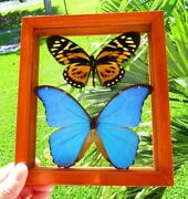 2 Real Framed Butterfly Blue Morpho Didius And Big Tiger Papilio Zagregus Amazing