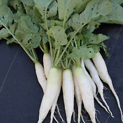 Organic White Icicle Radish Seeds Farm And Vegetable Gardening And Micro Greens Seed
