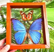 2 Real Framed Butterfly Blue Morpho Didius And Scarlet Cethosia Double Glass