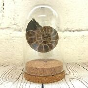 Cleoniceras Ammonite Fossil Glass Bell Cloche Dome Jar Display Natural History