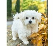 Embroidery Full Diamond Paintings Dog Maltese Patterned European Styles Painting