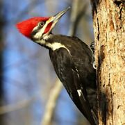 Pileated Woodpecker 125 Piece Small Wooden Jigsaw Puzzle | Zen Puzzles