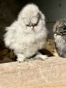 6 Bearded And Crested Select Show Quality Fertile Silkie Chicken Hatching Eggs
