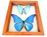 2 Real Framed Butterfly Blue Morpho Cacica And M.zephyritis Mounted Double Glass
