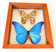 2 Real Framed Butterfly Blue Morpho Cacica And Moth Rothschildia Double Glass