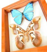 2 Real Framed Butterfly Blue Morpho Absoloni And Moth Rothschildia Double Glass