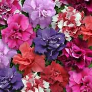 50 Double Mix Petunia Seeds Flower Containers Hanging Baskets Window Seed 322