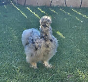 6 Show Quality Silkie Chicken Fertile Hatching Eggs,all Colors,bearded And Crested