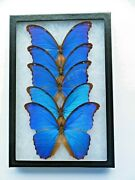Real Framed Butterflies Lot Of 5 Blue Morpho Didius Peru Special Price