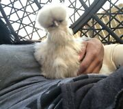 6 Bearded/crested Show Quality Silkie And Frizzle Chicken Hatching Eggs