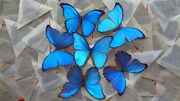 Lot Of 100 Blue Morpho Didius A- Male Good Condition Unmounted Wings Closed.