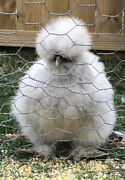 6 Silkie Chicken Hatching Eggs - All Colors, Extra Fluffy, And Precious
