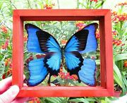 2 Real Butterfly Papilio Ulysses And Wings Of Blue Morpho Didius Double Glass