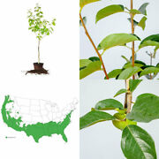 Perfect Plants Fuyu Asian Persimmon Tree Live 4-5 Ft., Self-pollinating