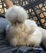 6 Silkie Bearded And Crested Show Quality Fertile Chicken Hatching Eggs