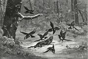 Bird Magpie Crows Attack And Kill Rabbit Large 1870s Antique Engraving Print