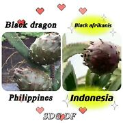 Black Dragon And Black Afrikanis Cutting And Rotted