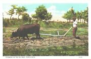 Man And His Cow At The Fields, Plowing In The Old Way, Puerto Rico Postcard