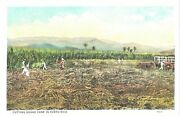 Cow Carriage, Men And Women In Fields Cutting Sugar Cane In Puerto Rico Postcard