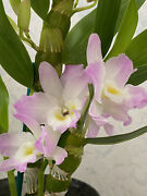 Orchid Plant Dendrobium Fancy Angel 'lychee' Multi Spike