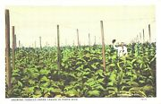 View Of Man In His Greenhouse Growing Tobacco Under Canvas, Puerto Rico Postcard