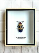 Red Speckled Jewel Beetle Chrysochroa Buquet Insect Bug Taxidermy Display Case