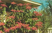 A Typical Florida Poinsettia Display Around Many Southern Homes Postcard