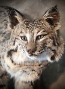 Bobcat Xlg Taxidermy Small Animalscollectibles