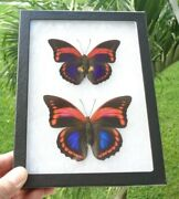 Real Framed Butterfly Male And Female Prepona Praeneste Peru Mounted