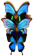 Real Framed Butterfly Lot Of 5 Fantastic Butterflies Special Collection