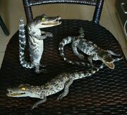 Animal Collectables Small 1pc Crocodile Taxidermy Miniatures Ornament Figurines