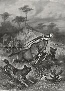 African Wild Dog Cape Hunting Oryx Gemsbok Large 1880s Antique Print And Article