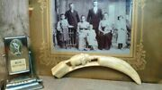 Large Copy Of A Walrus Tooth Made Of Plastic Vintage Circa 1950 Ussr Yakutia