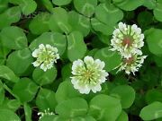5 Lbs White Dutch Clover Seed For Lawns And Ground Cover 800000 Seeds Per Lb