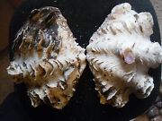 Tridacna Squamosa - 10 1/4-inch Fluted Clam - Both Halves -the Whole Shell