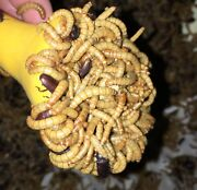 2500 Live Medium High Quality Mealworms Organically Raised In The Pnw