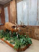 Awesome African Western Bongo Antelope Taxidermy Mount Horns Skull Home Decor