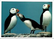 Andnbsppostcardandnbsp Branded Atlantic Puffin Inspects Wooden Decoy At Eastern Egg Rock Me