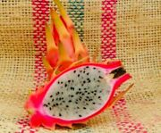 Yellow Tail Thai Yellow Dragon Fruit Cutting No Thorns On Fruit 6 To 12 Inches
