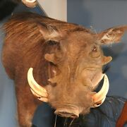 Warthog Half Life Size Real Mount Taxidermy Canada Only