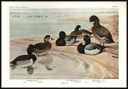 Vintage Color Bird Print - Ducks Ring-necked Lesser Scaup - By Fuertes